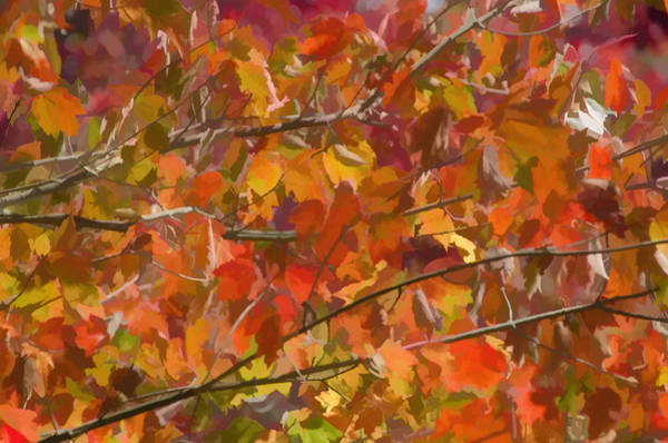 Photograph - Fall Maple Colors by Beth Sawickie