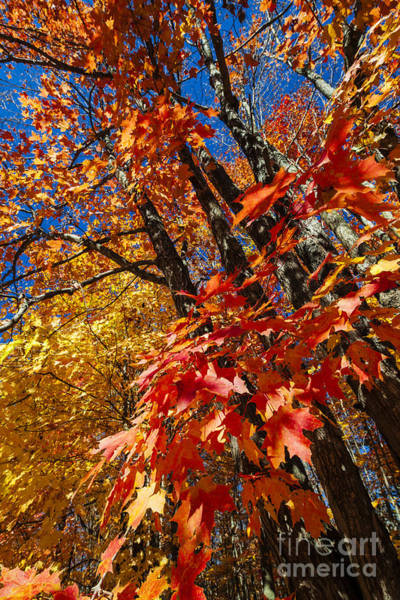 Wall Art - Photograph - Fall Maple Forest by Elena Elisseeva
