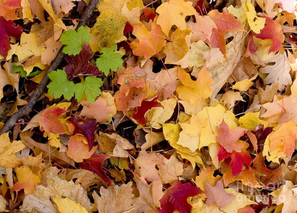 Photograph - Fall Maples by Steven Ralser