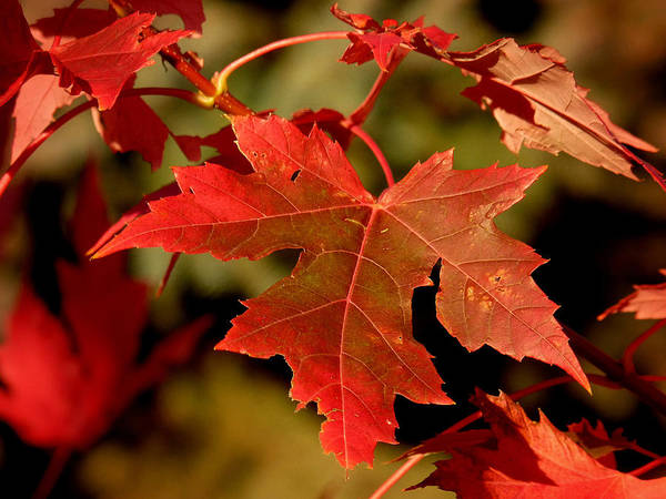 Photograph - Fall Red Beauty by Lucinda Walter