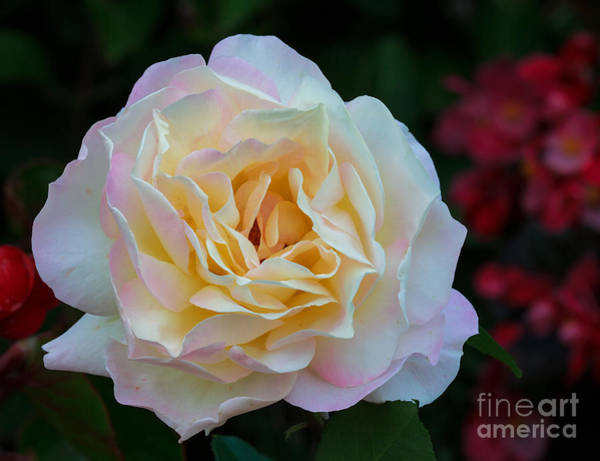 Lewes Photograph - Fall Rose Bloom by Robert Pilkington