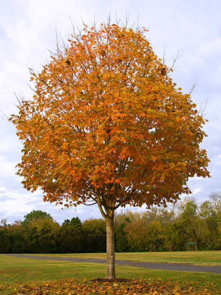 Acer Saccharum Photograph - Fall Sugar Maple by Melinda Fawver