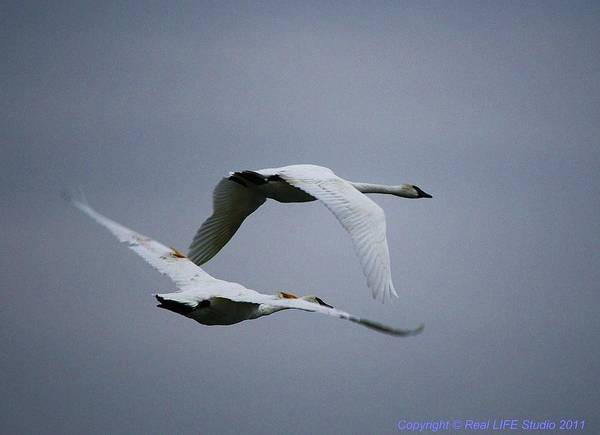 Photograph - Fall Swans by Al Fritz
