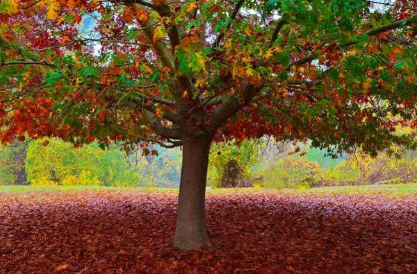 Photograph - Fall Tree View by Marilyn MacCrakin