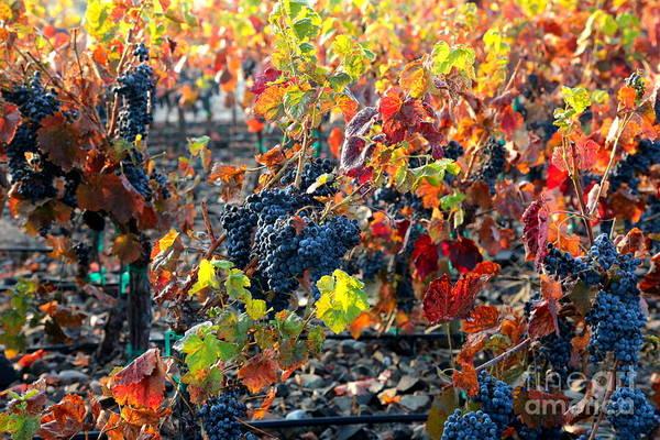 Photograph - Light Through Fall Vineyard by Carol Groenen