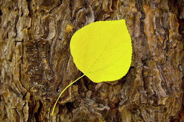 Stoney Photograph - Fallen Aspen Leaf On Log In Lake Tahoe by Jan and Stoney Edwards