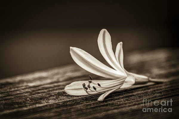Summer Time Photograph - Fallen Beauty- Sepia by Marvin Spates