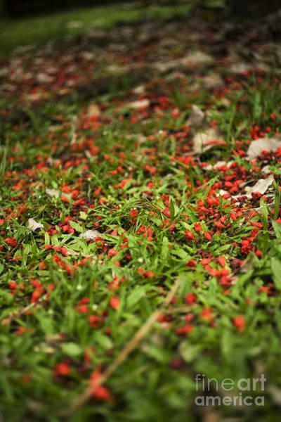 Photograph - Fallen Flame Tree Flowers by Charmian Vistaunet