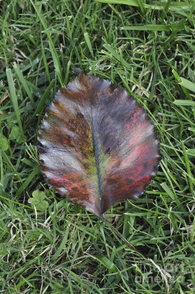 Photograph - Fallen Leaf  by Bridgette Gomes