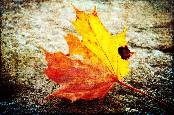 Photograph - Fallen Leaf by Randi Grace Nilsberg