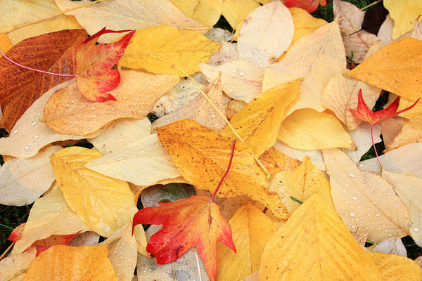 Photograph - Fallen Leaves by Gerry Bates