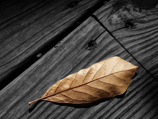 Photograph - Fallen Magnolia Leaf On A Gray Wooden Deck by Randall Nyhof