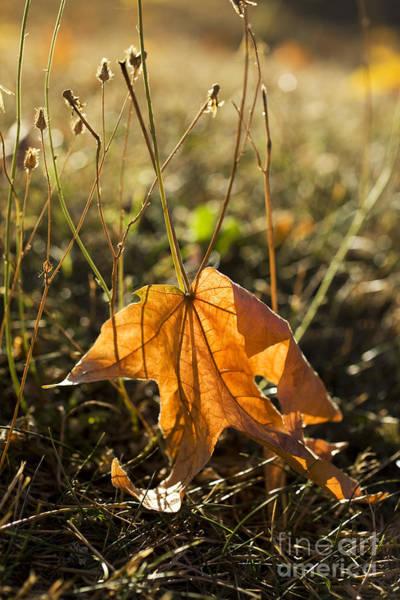 Photograph - Fallen Maple Leaf by Charmian Vistaunet
