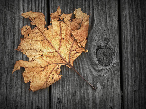Photograph - Fallen Maple Leaf On A Gray Wooden Deck by Randall Nyhof