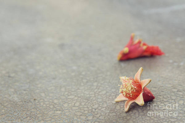 Photograph - Fallen Pomegranate Blossoms by Cindy Garber Iverson