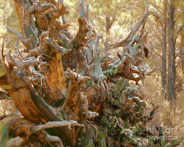 Photograph - Fallen Tree Roots by Richard J Thompson
