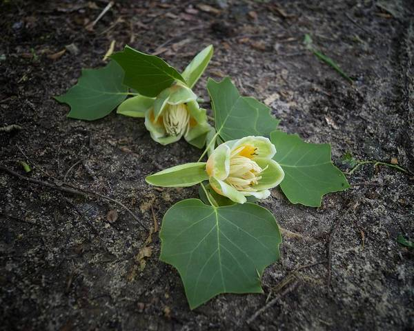 Photograph - Fallen Tulip Poplar Blossoms With Ants by MM Anderson