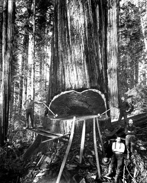Axe Wall Art - Photograph - Falling A Giant Sequoia C. 1890 by Daniel Hagerman