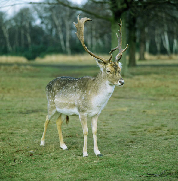 Dama Dama Photograph - Fallow Buck by Anthony Cooper/science Photo Library