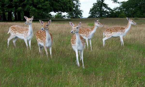 Dama Dama Photograph - Fallow Deer Doe by Nigel Downer