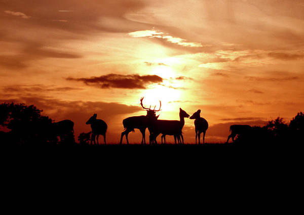 Dama Dama Photograph - Fallow Deer Herd At Sunset by John Devries/science Photo Library