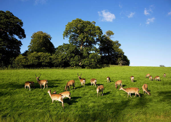 Wall Art - Photograph - Fallow Deer In The Demesne, Doneraile by Panoramic Images