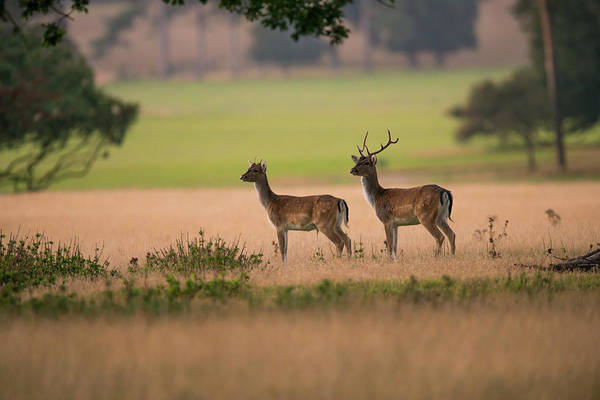 Back In The Day Photograph - Fallow Deer, Pair, In Parkland, Norfolk by Mike Powles