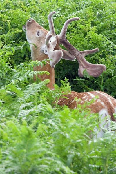 Dama Dama Photograph - Fallow Deer Stag by Gustoimages/science Photo Library