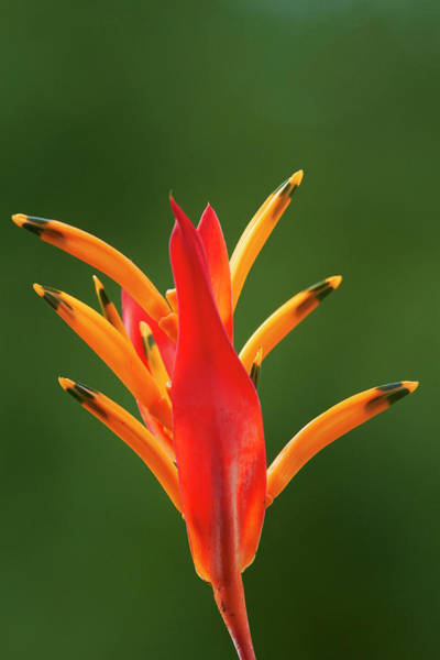 Heliconia Wall Art - Photograph - False Bird-of-paradise Flower by David Wall