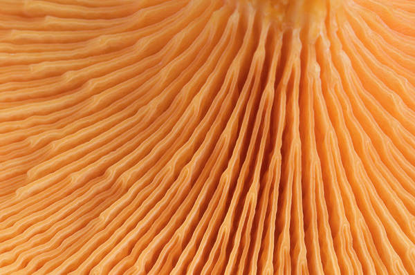 Mycology Wall Art - Photograph - False Chanterelle Gills Abstract by Nigel Downer