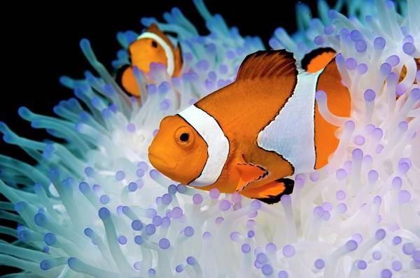 Anemonefish Photograph - False Clown Anemonefish by Georgette Douwma/science Photo Library