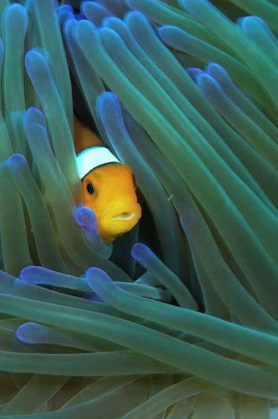 Anemonefish Photograph - False Clown Anemonefish by Scubazoo/science Photo Library