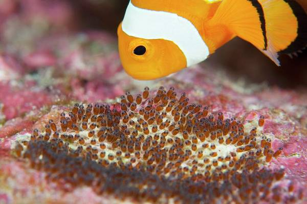 Clownfish Photograph - False Clown Anemonefish Tending Its Eggs by Scubazoo/science Photo Library