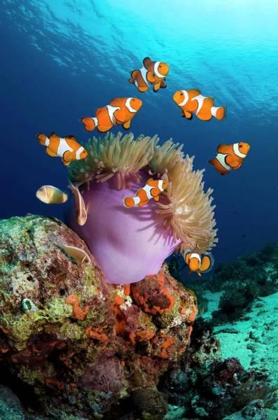 Clownfish Photograph - False Clownfish by Georgette Douwma