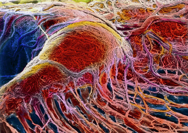 Wall Art - Photograph - False-colour Sem Of Blood Vessels In Eye Choroid by Prof. P. Motta/dept. Of Anatomy/university \la Sapienza\, Rome/science Photo Library