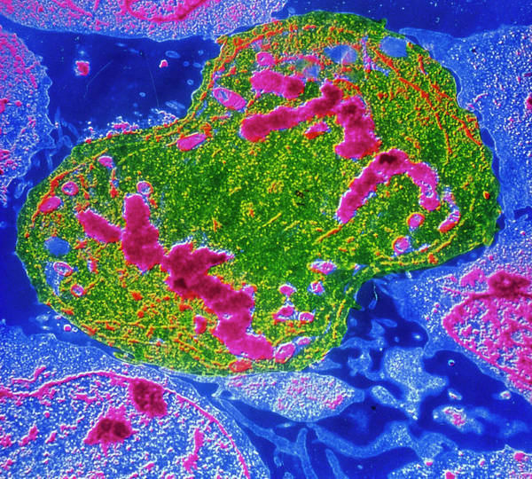 Wall Art - Photograph - False-colour Tem Of Lymphocyte Undergoing Mitosis by Cnri/science Photo Library