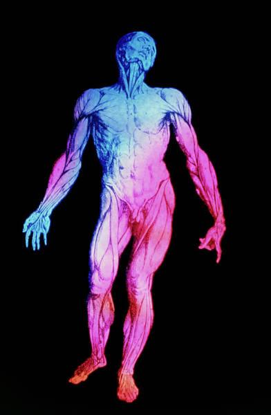De Humani Corporis Fabrica Photograph - False-colour Vesalius Image Of Human Musculature by Mehau Kulyk/science Photo Library