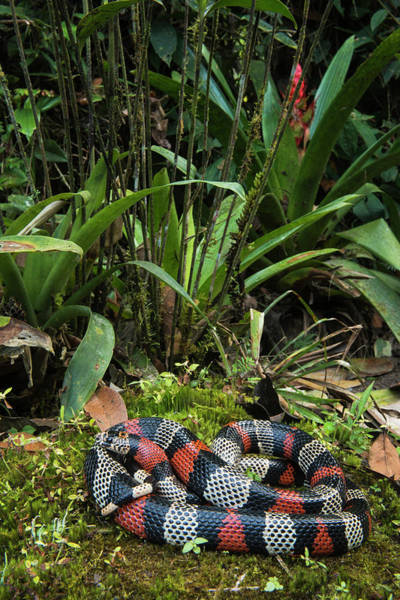 Andes Photograph - False Coral, Milk Snake (lampropeltis by Pete Oxford