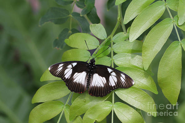 Wall Art - Photograph - False Diadem Butterfly by Judy Whitton