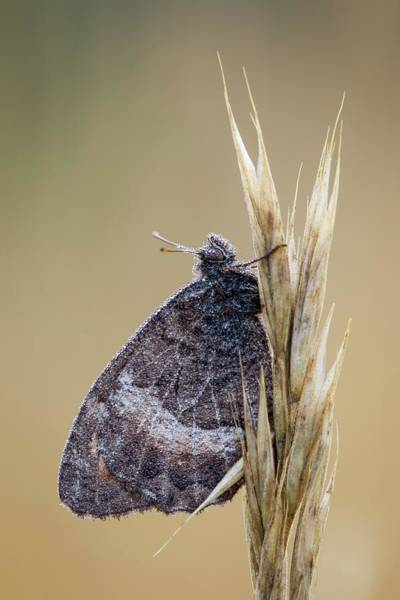 Imago Photograph - False Grayling by Heath Mcdonald/science Photo Library