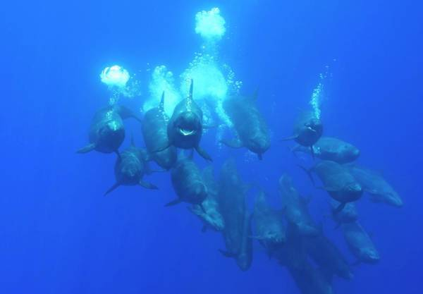 Azores Photograph - False Killer Whales by Christopher Swann/science Photo Library