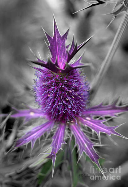 Photograph - False Purple Thistle by E B Schmidt