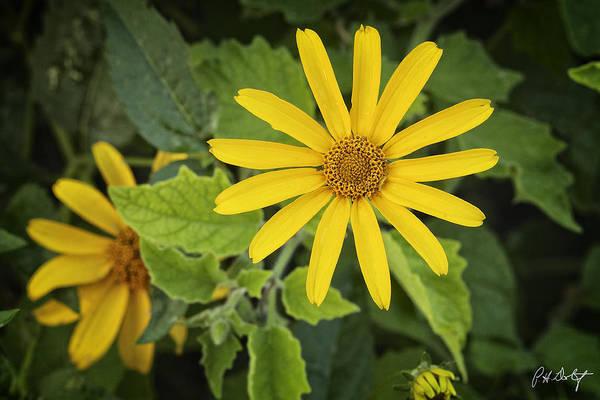 Appeal Digital Art - False Sunflower by Phill Doherty