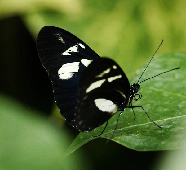 Photograph - False Zebra Longwing Butterfly by Marilyn Hunt