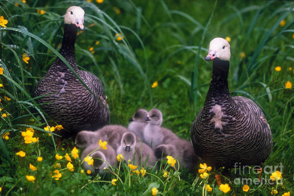 Gosling Photograph - Family Of Emperor Geese by Art Wolfe