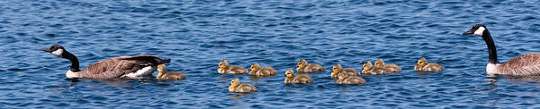 Gosling Photograph - Family Outing by Kathleen Bishop