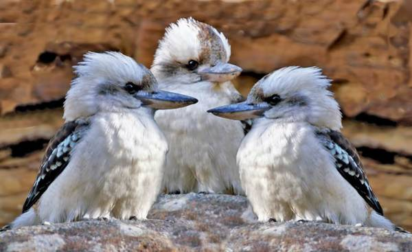 Photograph - Family Ties - Kookaburra Style by David Rich