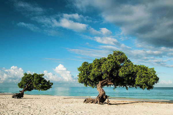 Wall Art - Photograph - Famous Divi Divi Trees On Sandy Beach by Josh Miller Photography