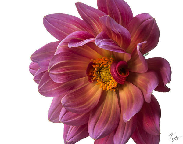 Photograph - Fancy Dahlia Closeup by Endre Balogh
