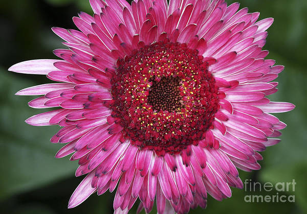 Photograph - Fancy Pink Daisy by Deborah Benoit